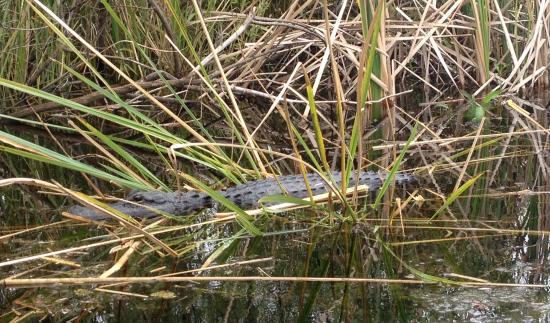 Everglades Area Tours: Mangrove tour- Aligator
