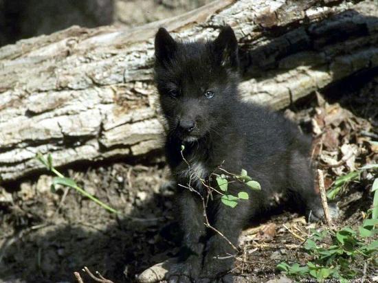 Pastrana, Испания: pequeno-lobo-negro-2f68d_large.jpg