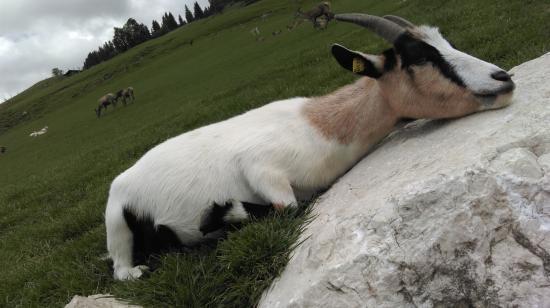 Aurach bei Kitzbuehel, Austria: Ziege
