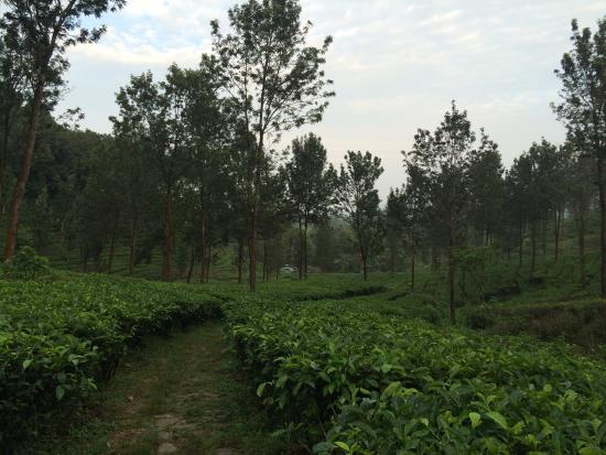 Agrowisata GUNUNG MAS Kebun Teh Walini