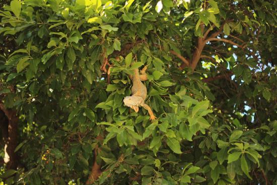 Tierra Viva : La iguana que nos acompañaba a desayunar todas las mañanas!