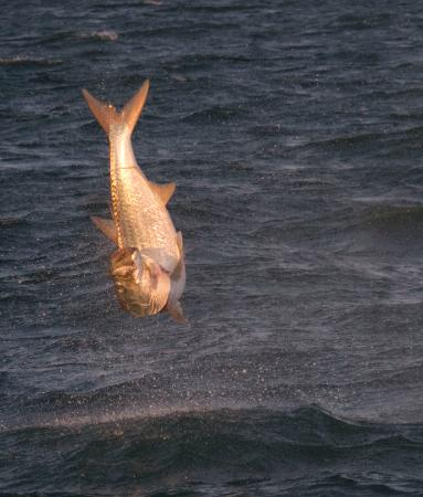 Capt Chris Morrison Fishing Charters: Tarpon run Starting in mid March