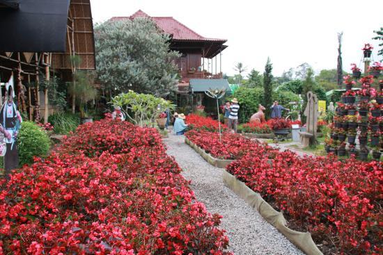 Red Beautiful Begonia Picture Of Begonia Garden Lembang