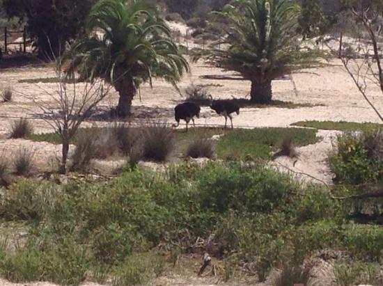 Buffelsfontein: 2 of the ostriches by the waterhole