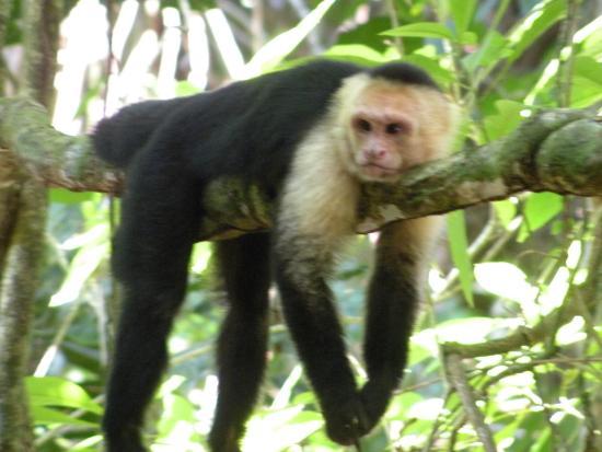 Manuel Antonio Tico Tours: scimmia cappuccino