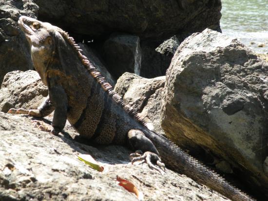 Manuel Antonio Tico Tours: iguana