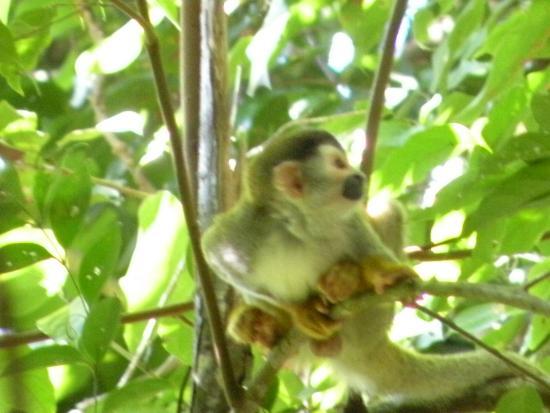 Manuel Antonio Tico Tours: squirrel monkey
