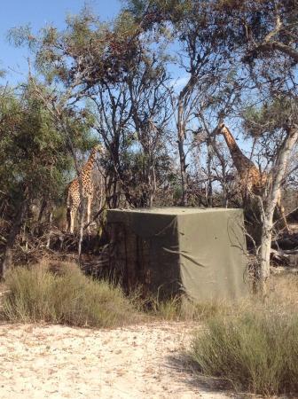 2 of the giraffes.
