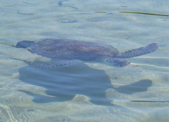 Arajilla Retreat: Turtle at beach