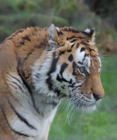 Linton, UK: Katinka, Amur Tiger