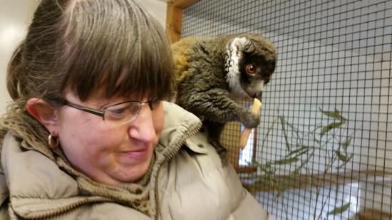 Linton, UK: Lemur experience