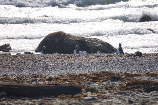 Seno Otoway Penguin Colony: Photo using my 210 zoom lens