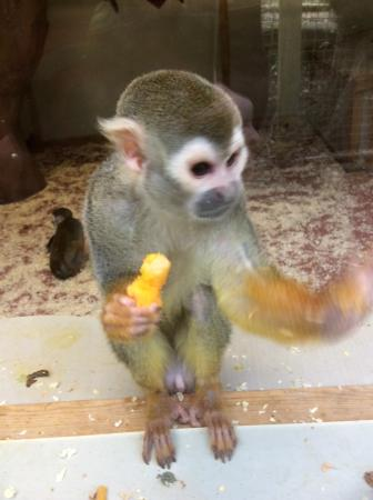Shaldon, UK : Squirrel monkey