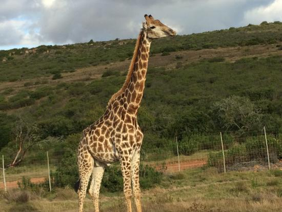 Garden Route Game Lodge: Giraffes!