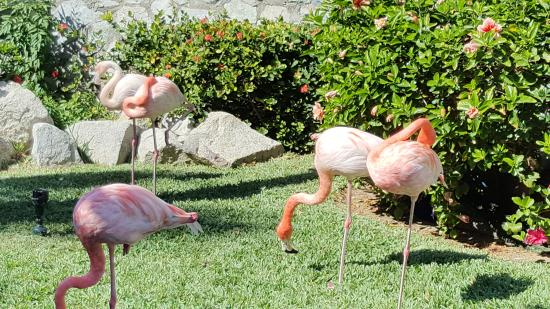 Pueblo Bonito Sunset Beach Golf and Spa Resort: Flamingos by the tennis courts