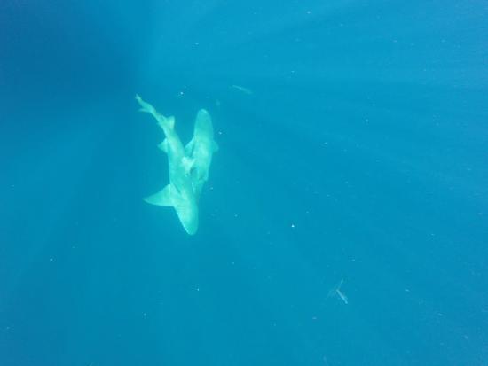 จูปีเตอร์, ฟลอริด้า: Lemon sharks
