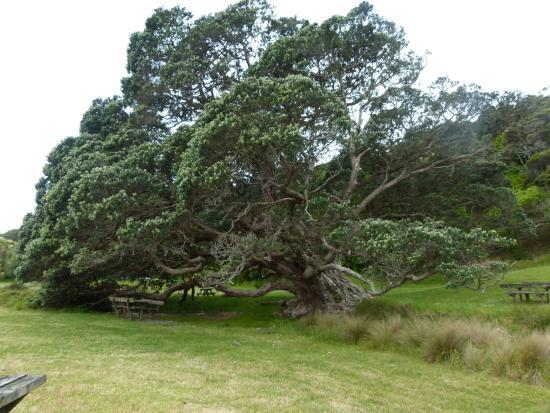 Остров Уаихеке, Новая Зеландия: Very old pohutakawa tree