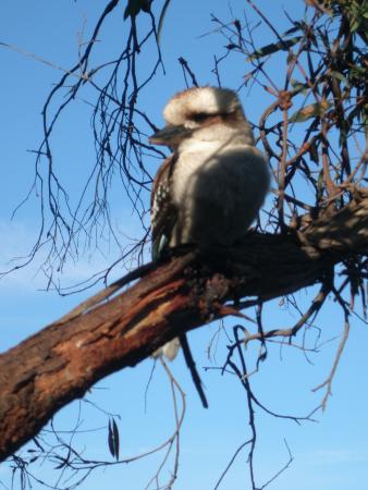 Bridport, Austrália: Kookaburra watching for dinner