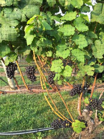 Southold, Nova York: grapes