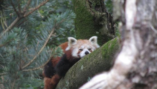 Anif, Autriche : Панда