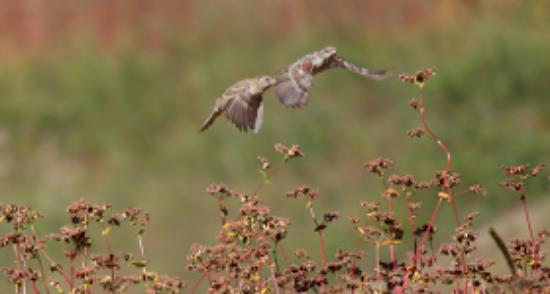 Hotel Rupin River View: Birds of Kinnaur