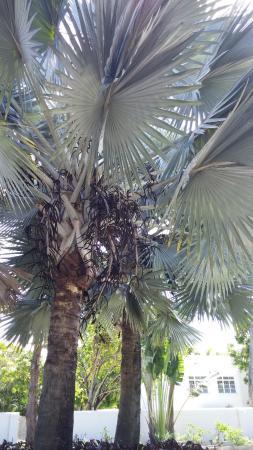 Worthing, Barbados: White-Palm