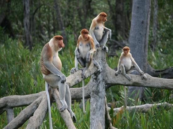 Sabah, Malaysia: Labuk Bay Proboscis Monkey Sanctuary