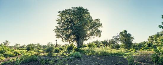 Sudáfrica: Baobab walk