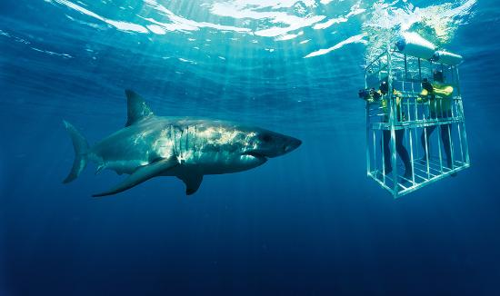 Sør-Afrika: Shark Cage Diving