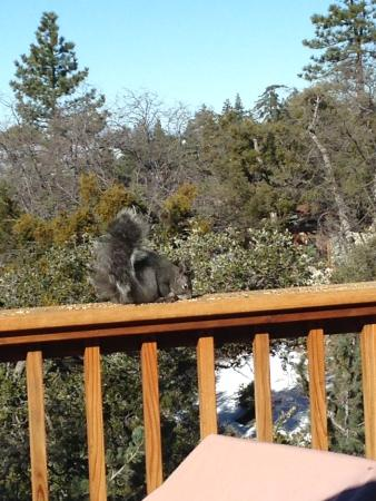 Idyllwild, Califórnia: Plenty squirrels