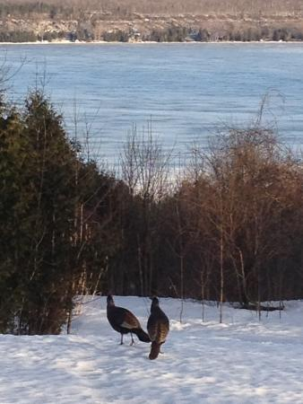 Wiarton, แคนาดา: Wild Turkeys in back yard