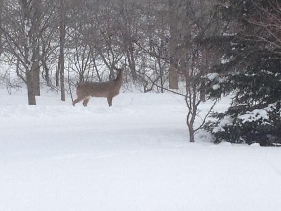 Wiarton, Canadá: Deer in back yard