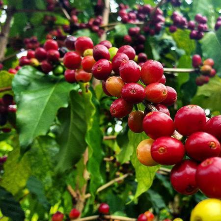 Holualoa, HI: Cherry Coffe Beans