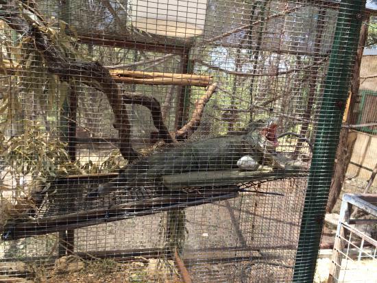 Austin Zoo: a BIG iguana!