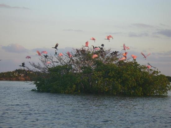 Tour the Glades: Roseate Spoonbills at sunset
