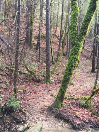 Old forest growth along the Papoose Pass Trail