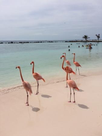 Renaissance Aruba Resort Beautiful Flamingos At Flamingo Beach On The Resorts Private Island