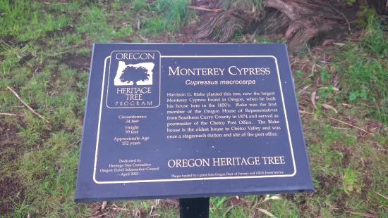 Oregon's Largest Monterey Cypress Photo