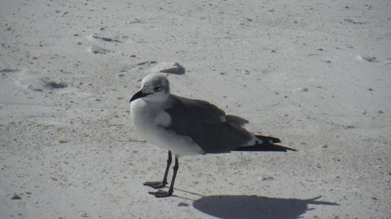 Honeymoon Island State Park: Sea gull