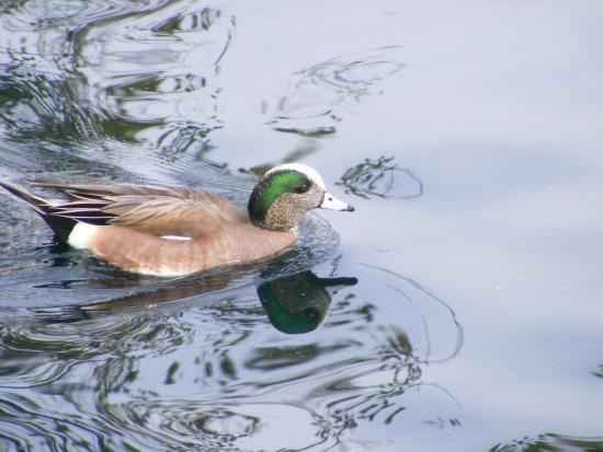 Cerritos, Kaliforniya: Blue billed duck - very pretty in person!