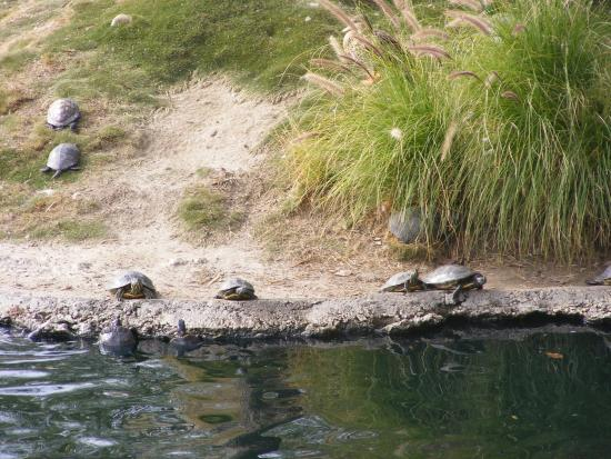 """Cerritos, CA: All these little turtles were all over the small """"island"""""""
