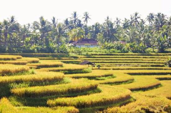 Jembrana, Indonesia: Ricefields of west bali