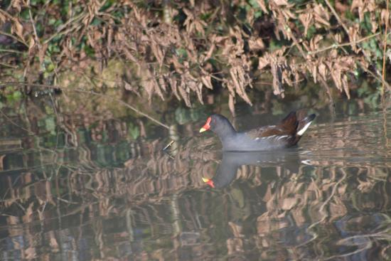 Broadhembury Caravan and Camping Park: One of the park morehens that live in the pond/pool