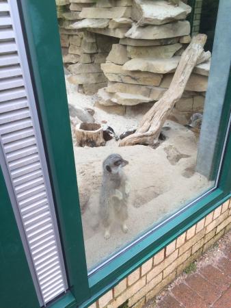 East Kilbride, UK: Meerkats