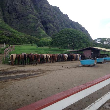 Kaneohe, HI: feeding time for ponies
