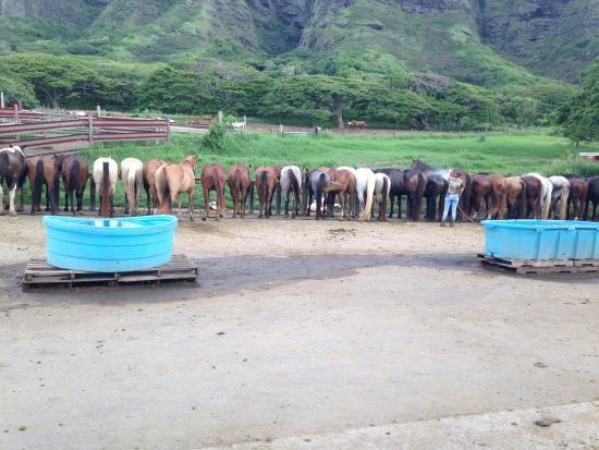 Kaneohe, HI: happy trail horses