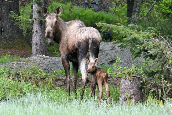 Chilkat River Adventures : Momma Moose and calf