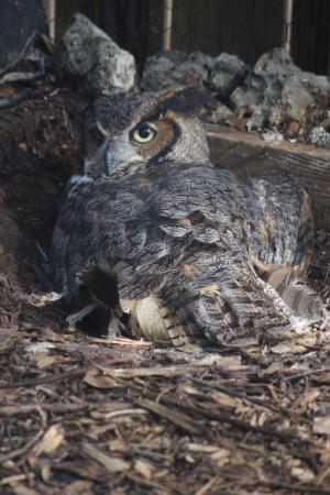 Tavernier, FL: Great Horned Owl