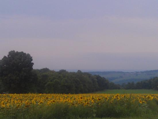 Lagos Finger, estado de Nueva York: Sunflower field near east shore of Cayuga Lake, NY