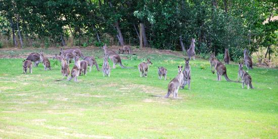 Merrijig, Australië: Goodness me, they all really felt like some green grass this day!